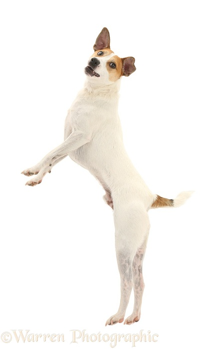 Jack Russell Terrier, Milo, 5 years old, leaping high in the air, white background