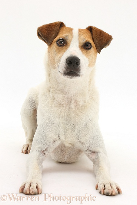 Jack Russell Terrier, Milo, 5 years old, lying with head up, white background