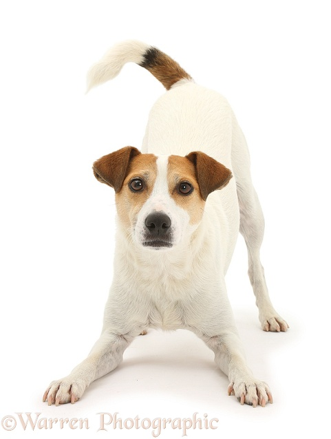 Jack Russell Terrier, Milo, 5 years old, in play-bow stance, white background