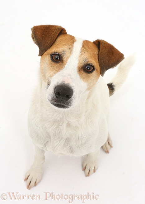 Jack Russell Terrier, Milo, 5 years old, sitting and looking up, white background