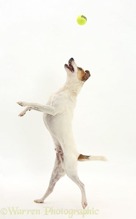 Jack Russell Terrier, Milo, 5 years old, leaping to catch a ball, white background