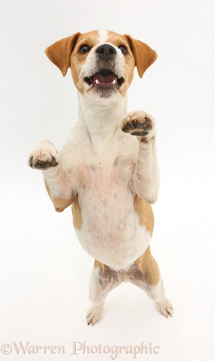 Jack Russell Terrier, Bobby, standing up on hind legs, white background