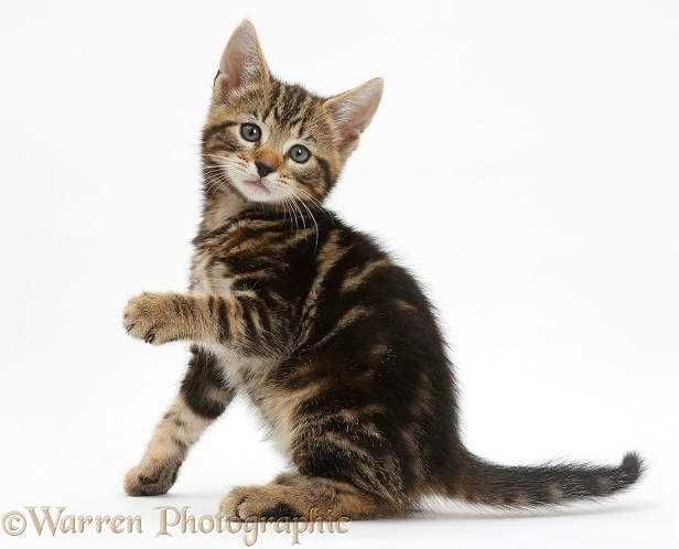 Tabby kitten, Picasso, 7 weeks old, with raised paw, white background