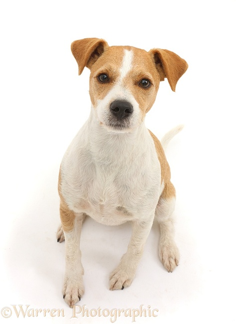 Jack Russell Terrier, Bobby, sitting and looking up, white background