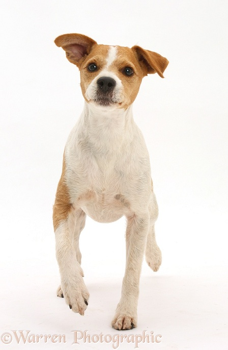 Jack Russell Terrier, Bobby, walking, white background