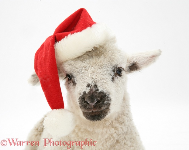 Lamb wearing a Father Christmas hat, white background