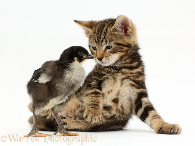 Tabby kitten, Picasso, 7 weeks old, with a chick, white background