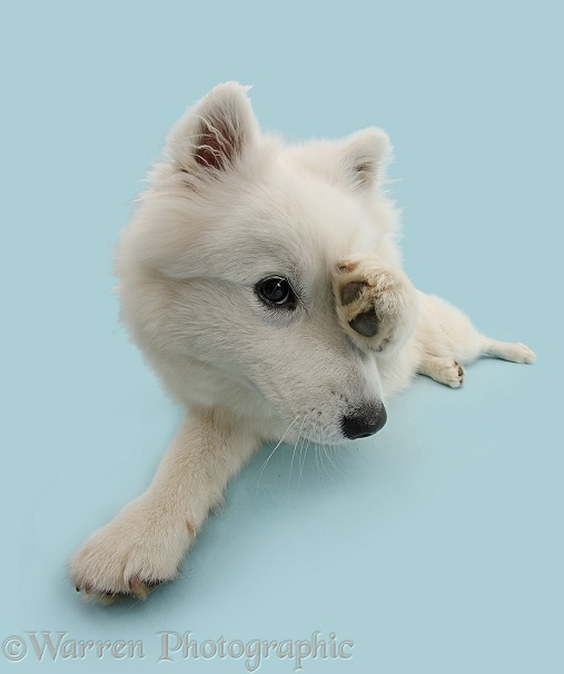 White Japanese Spitz dog, Sushi, 6 months old, peeking out from paw
