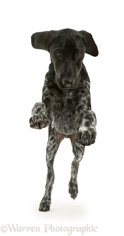 Mostly black pointer puppy jumping, white background