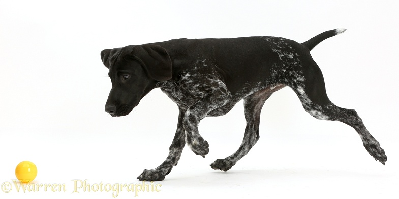 Mostly black pointer puppy chasing a ball, white background