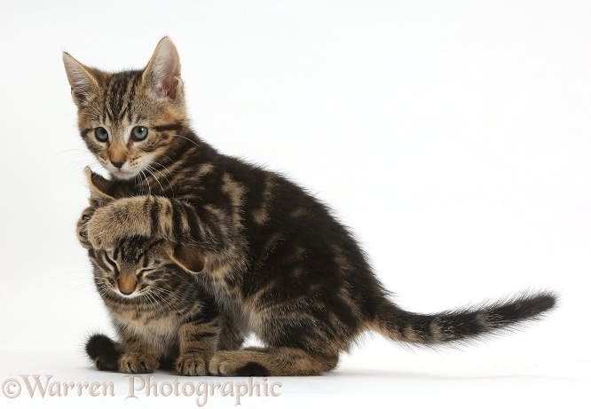 Tabby kitten, Picasso, hugging his brother, Smudge, 8 weeks old, in a playful manner, white background