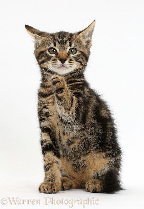Tabby kitten, Smudge, 8 weeks old, with raised paw, white background