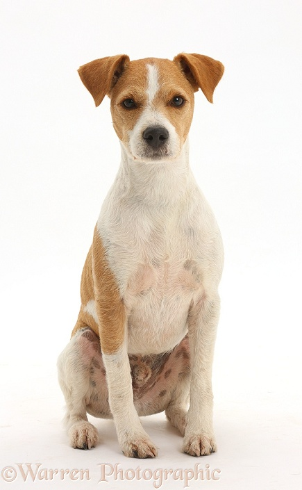 Jack Russell Terrier, Bobby, sitting, white background