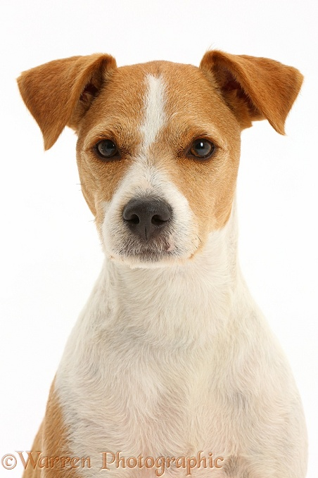 Jack Russell Terrier, Bobby, white background