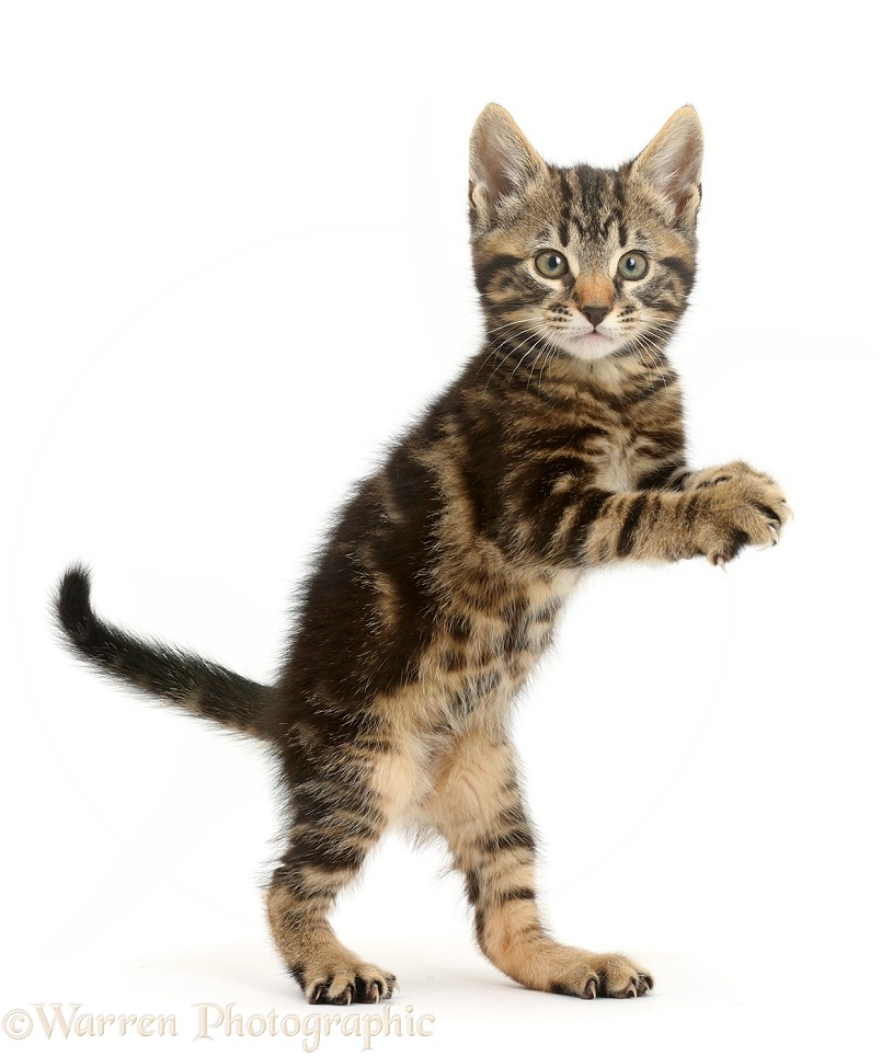 Pictures Of Spotted Tabby Cats