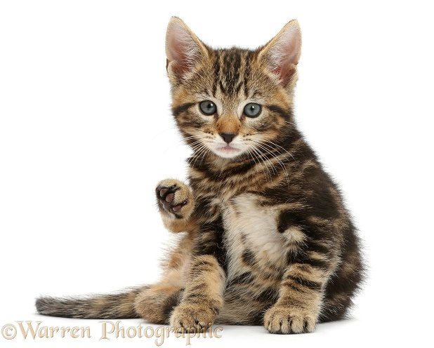 Tabby kitten, Picasso, 7 weeks old, looking up from grooming, white background