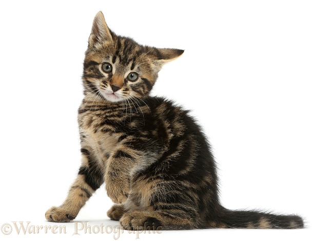 Tabby kitten, Smudge, 7 weeks old, with raised paw, white background