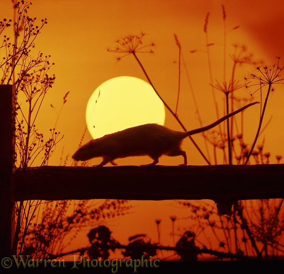 Brown Rat (Rattus norvegicus) running across a fence at sunset.  Worldwide