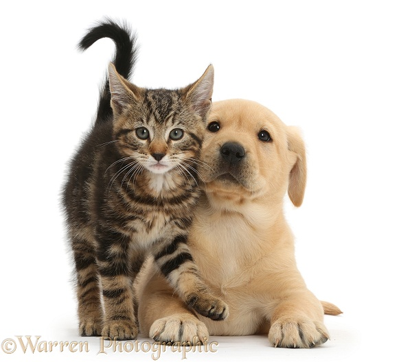 Tabby kitten, Picasso , 9 weeks old, with cute Yellow Labrador puppy ...