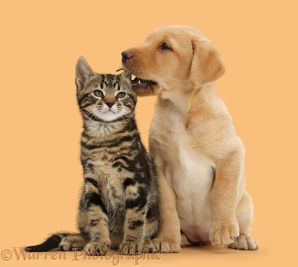 Cute Labrador puppy whispering in the ear of tabby kitten, Smudge, 9 weeks old, white background