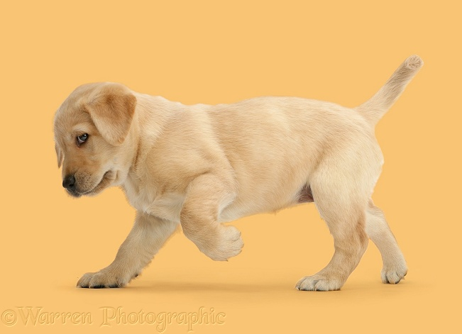 Cute playful Yellow Labrador Retriever puppy, 8 weeks old, standing with raised paw, white background