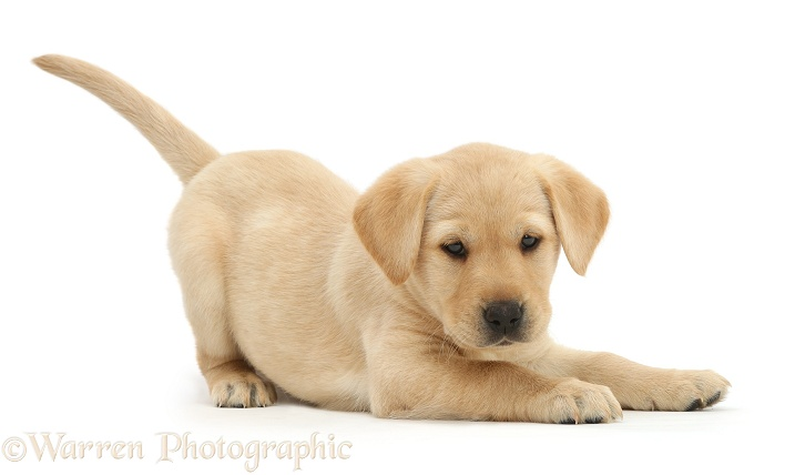 Cute playful Yellow Labrador Retriever puppy, 8 weeks old, in play-bow, white background