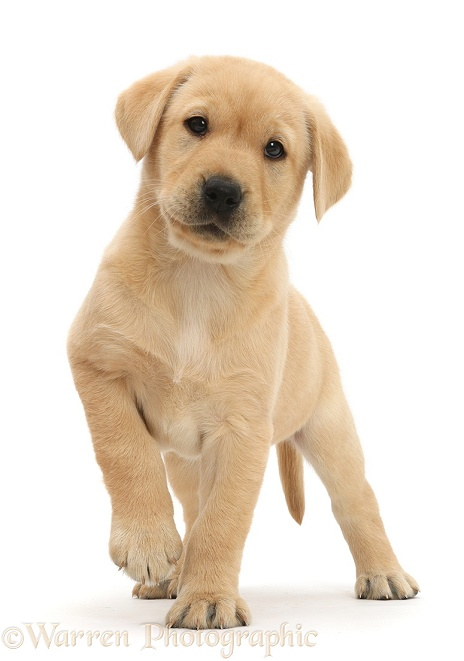 Cute Yellow Labrador Retriever puppy, 8 weeks old, standing with raised paw, white background