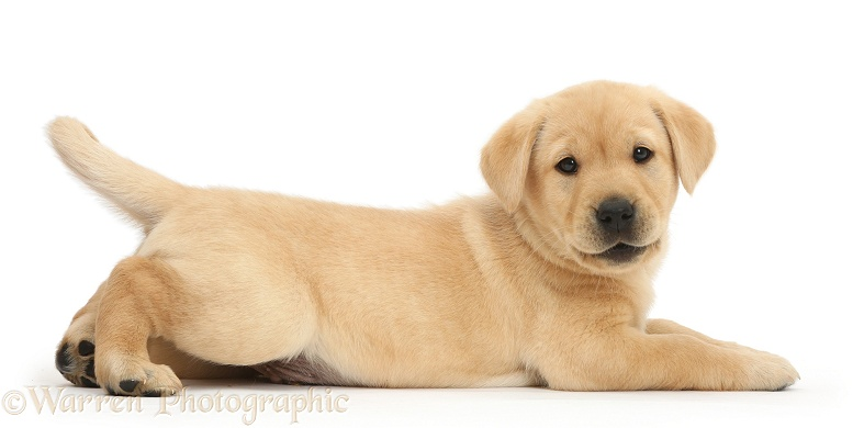 Cute Yellow Labrador Retriever puppy, 8 weeks old, lying stretched out in a playful manner, white background