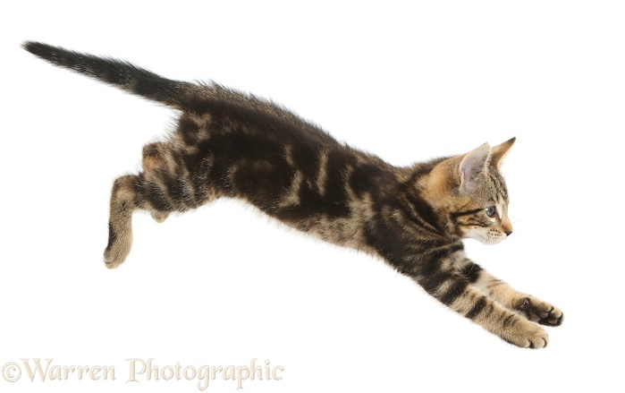 Tabby kitten, Picasso, 10 weeks old, leaping across, white background