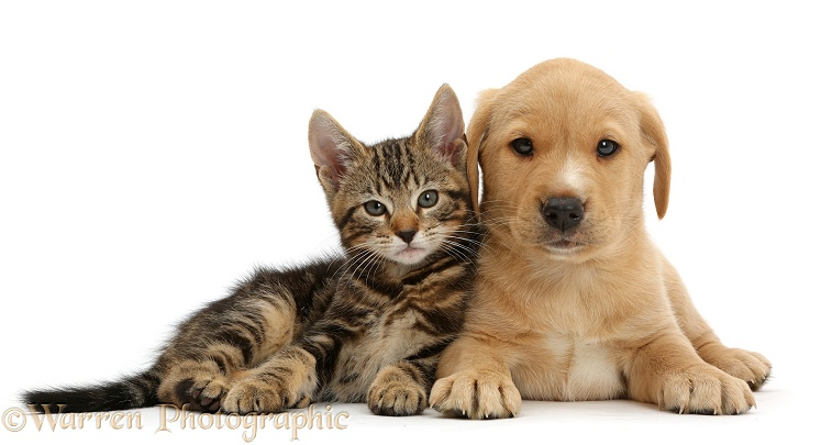 Tabby kitten, Picasso, 9 weeks old, with cute Yellow Labrador puppy, 8 weeks old, white background