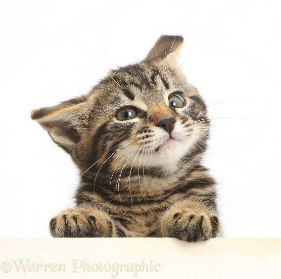 Tabby kitten, Smudge, 8 weeks old, paws over and shaking his head, white background