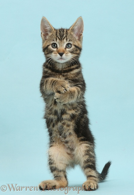 Tabby kitten, Picasso, 8 weeks old, standing up on blue background