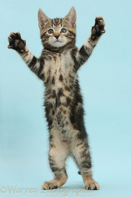 Tabby kitten, Picasso, 8 weeks old, standing up and reaching out on blue background