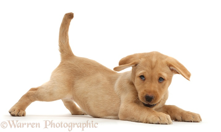 Cute playful Yellow Labrador Retriever puppy, 9 weeks old, in play-bow, white background