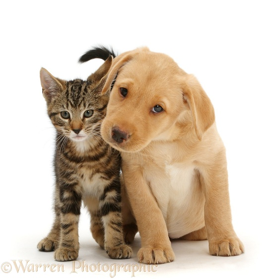 Tabby kitten, Picasso, 10 weeks old, with cute Yellow Labrador puppy, 9 weeks old, white background