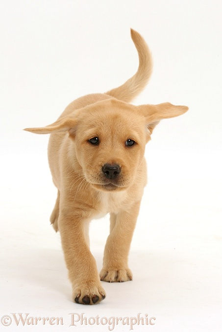 Cute Yellow Labrador Retriever puppy, 8 weeks old, running, white background
