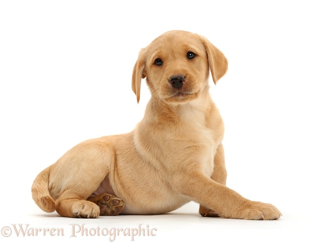 Cute Yellow Labrador Retriever puppy, 9 weeks old, lying with head up, white background