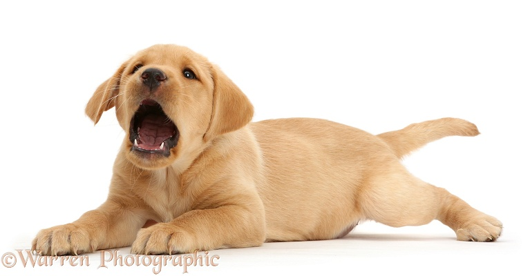 dog cute yellow labrador puppy lying photo   wp41125