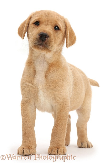 Cute Yellow Labrador Retriever puppy, 8 weeks old, standing, white background