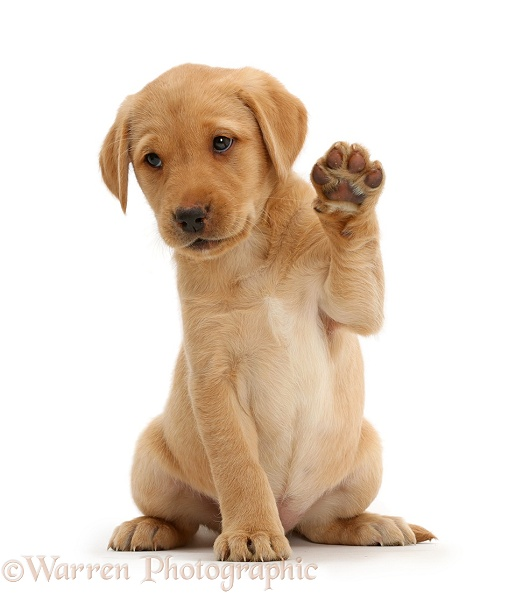 Cute Yellow Labrador Retriever puppy, 8 weeks old, sitting with raised paw waving, white background