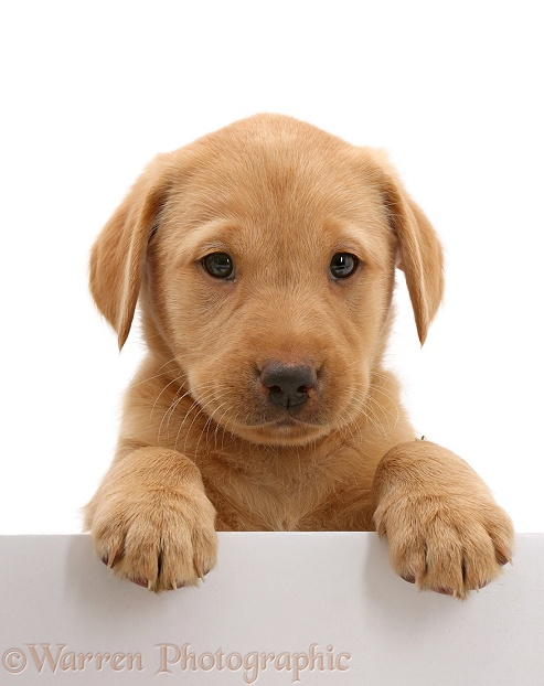 Cute Yellow Labrador puppy, 8 weeks old, with paws over, white background