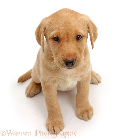 Cute Yellow Labrador puppy, 8 weeks old, sitting and looking up, white background