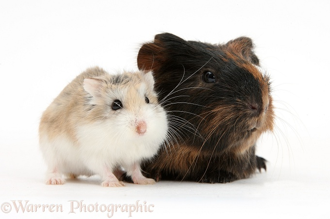 Baby Guinea pig and cute Roborovski Hamster (Phodopus roborovskii), white background