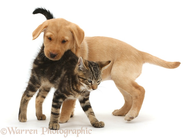 Tabby kitten, Picasso, 10 weeks old, with Yellow Labrador puppy, 9 weeks old, white background