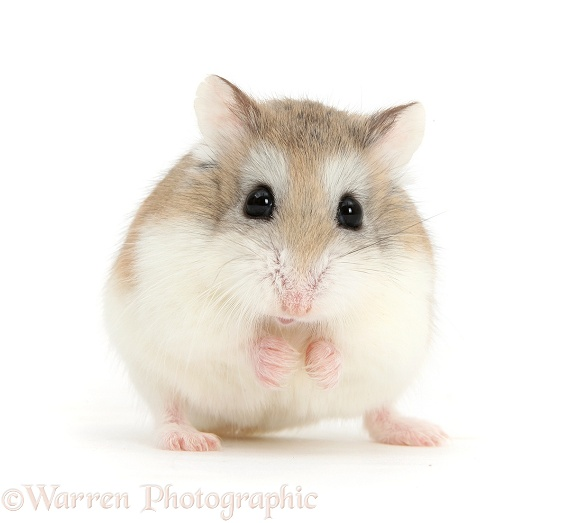Roborovski Hamster (Phodopus roborovskii) pretending to be a tennis ball with ears, white background