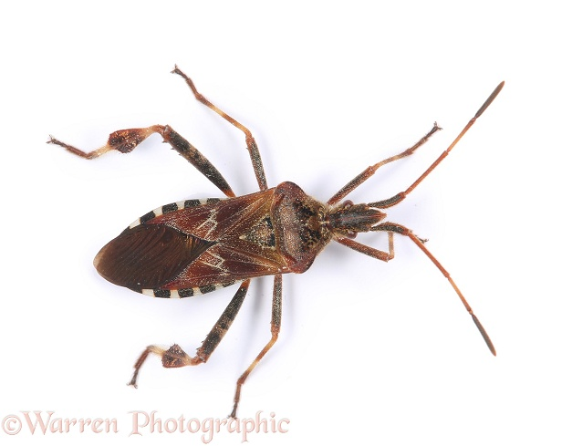 Western Conifer Seed Bug (Leptoglossus occidentalis).  Species recently introduced to Europe from North America and spread to Britain, white background