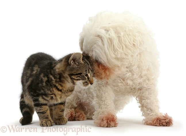 Tabby kitten, Smudge, 3 months old, face-to-face with Bichon Frise, Poppy, white background