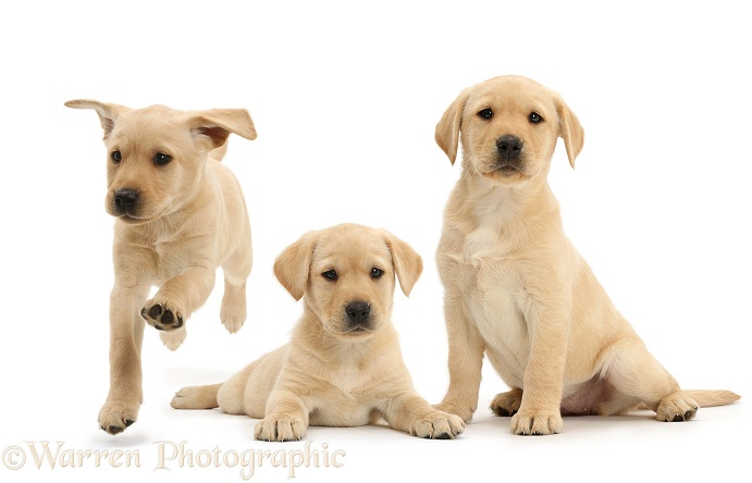Thee Yellow Labrador Retriever puppies, 9 weeks old, lying, sitting and running, white background