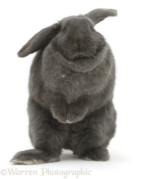 Blue grey lop rabbit standing up in a comical fashion, white background