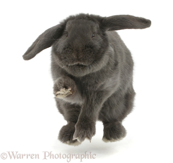 Blue grey lop rabbit jumping up on the spot, white background